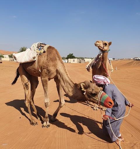 جمل camel  駱駝 🐪