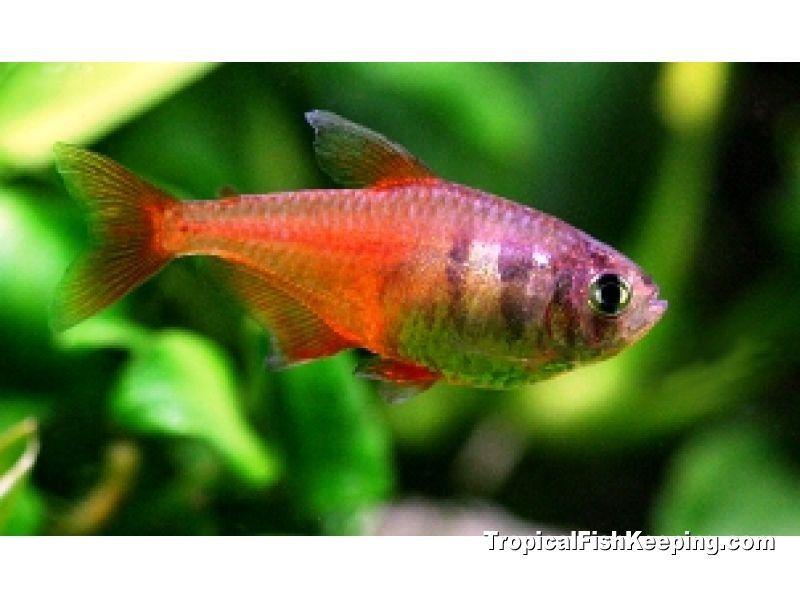 ikan neon cardinal