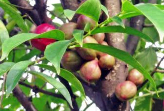 4 Obat Herbal Jantung Bengkak Paling Ampuh