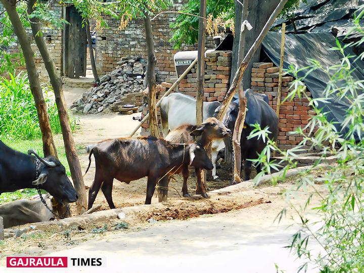 sadullapur-village-livestock