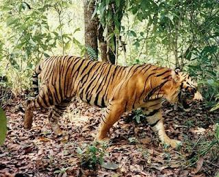 Viral Foto Penampakan Harimau Jawa. Begini Mitos dan Fakta Terkait Keberadaannya