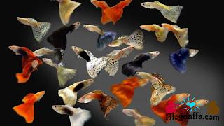 Jenis Jenis ikan guppy terpopuler di Indonesia