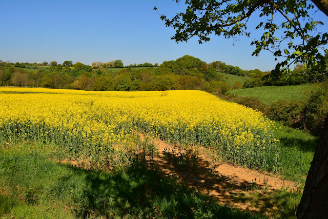 champ de colza Saulges