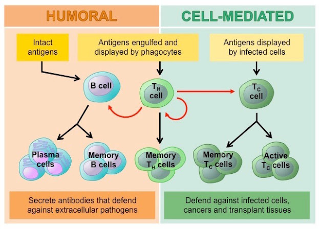 It is moderated by the link between T-lymphocytes and phagocytic cells