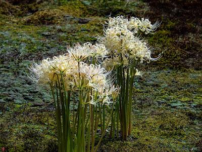 Higan-bana (Lycoris radiata) flowers: Chojyu-ji