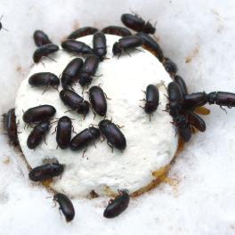 Cara Mengkonsumsi Semut Jepang Untuk Obat