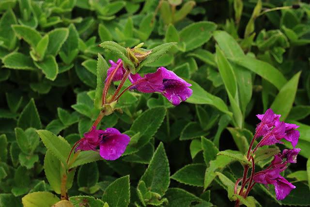 Gulabi Terada Impatiens oppositifolia kaas plateau western ghats valley of flowers