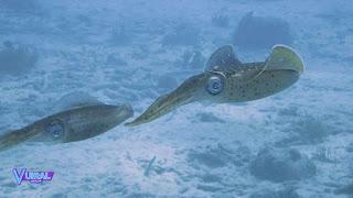 Contoh Hewan Mollusca Cumi-Cumi