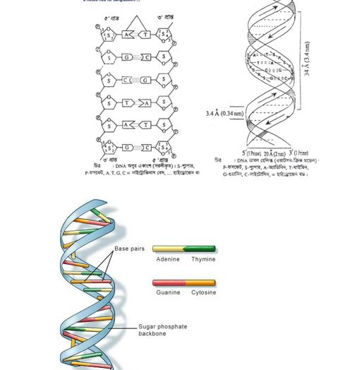 DNA RNA প্রোটিন, DNA এর সচিত্র ভৌত গঠন, চিত্রসহ DNA থেকে RNA তৈরির প্রক্রিয়া, চিত্রসহ RNA থেকে প্রােটিন তৈরির প্রক্রিয়া https://www.banglanewsexpress.com/