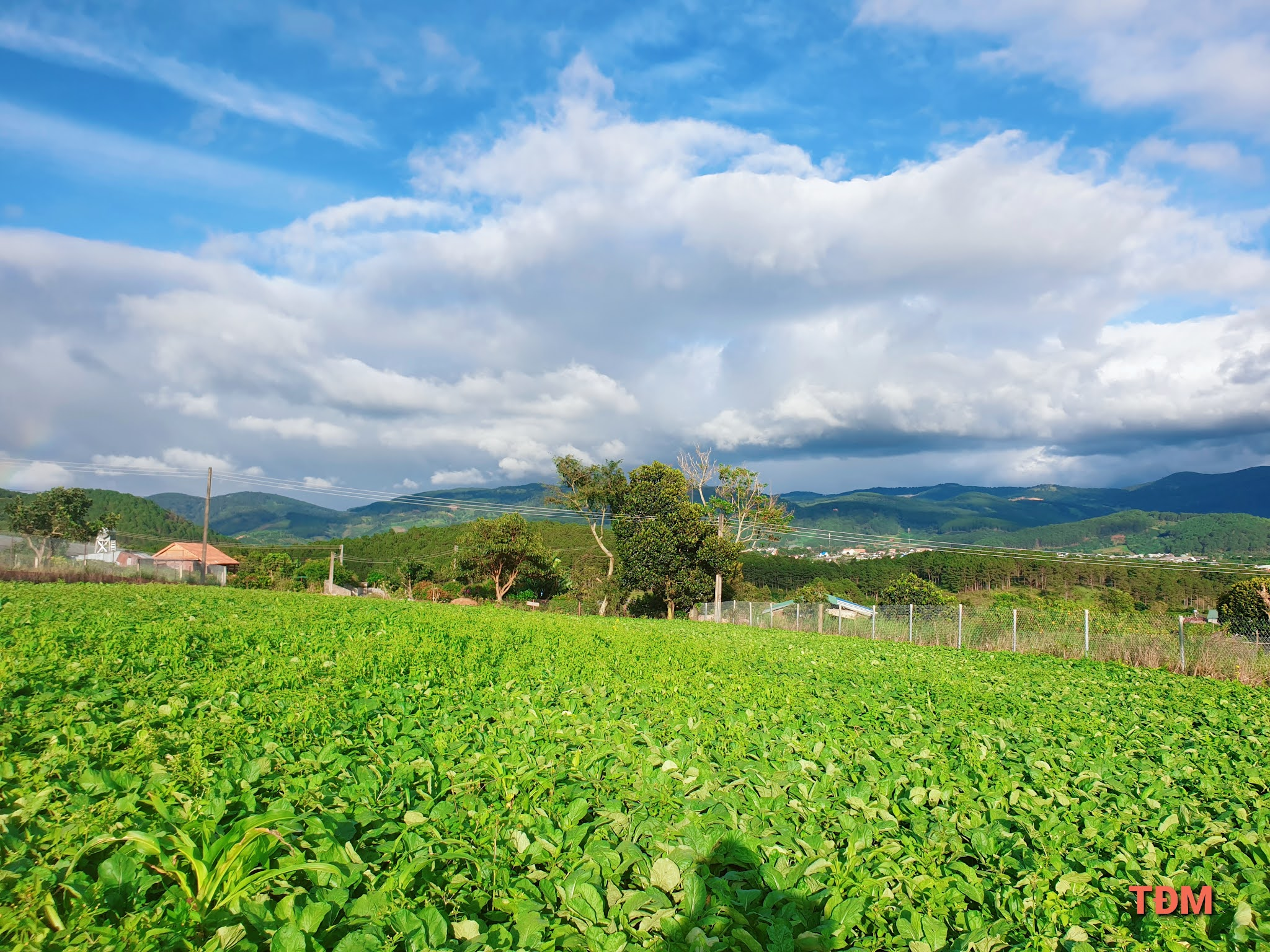 Vườn cải lá xanh rì