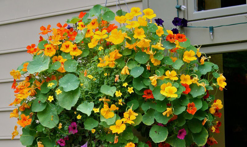 Garden Thymes Cheery Nasturtiums