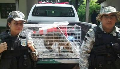 Guarda Civil Municipal de Salvador (BA) captura raposa no bairro de Mussurunga