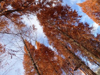 打上川治水緑地・メタセコイアの紅葉