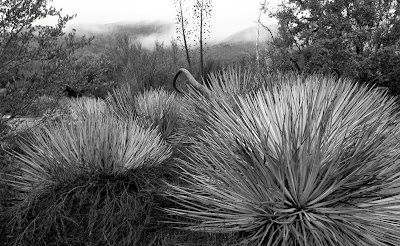 High Desert Yucca