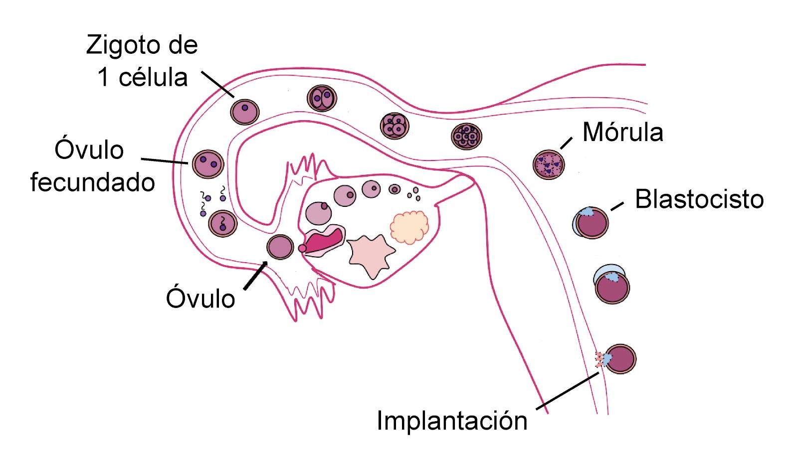 implantacion del blastocisto en el útero