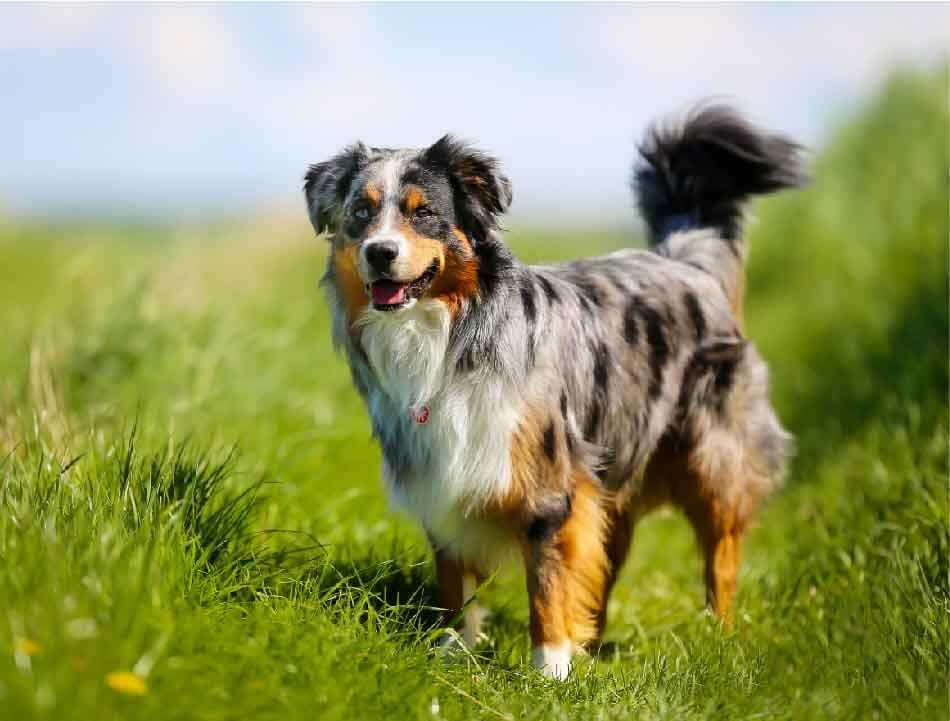 berger australien, race de chien, les animaux de la compagnie, chien de compagnie, races de chiens, chiot, aussies, australian shepherd, berger américain miniature, chien de chasse, couper la queue, caudectomie, chien,