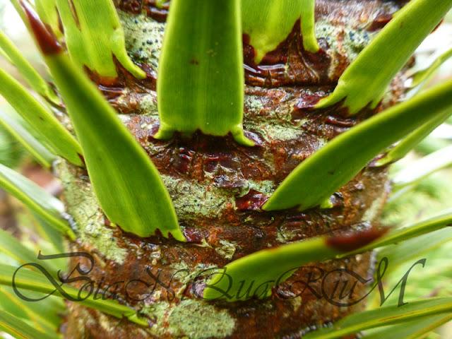 Botaniquarium - Araucaria araucana bark detail