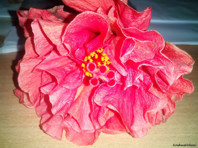 Image: Fading Hibiscus Flower