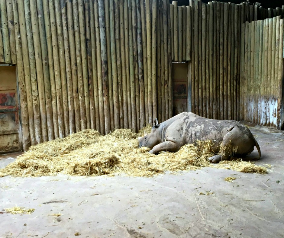 A rhino, at Chester Zoo, sleeps on a bed of what looks like hay.