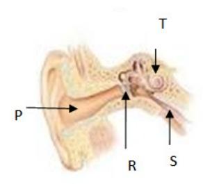 Gendang telinga, saluran eustachius, dan rumah siput