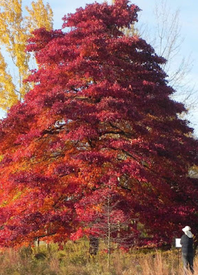 Wildfire black gum tree pros and cons