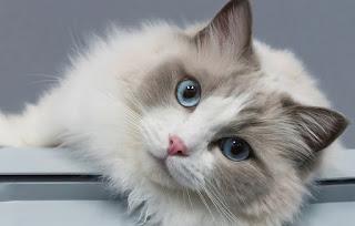 مراجعه ومواصفات قط راغدول المميز بالعيون الزرقاء