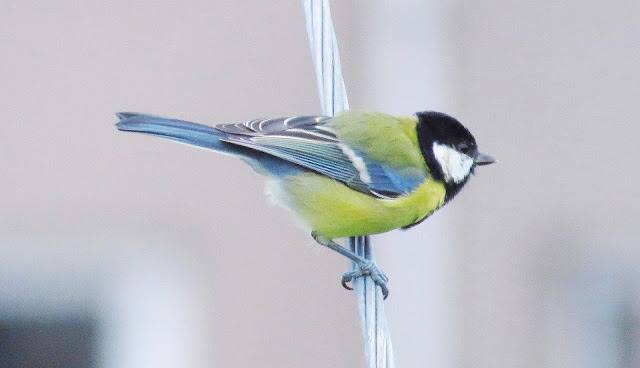 Great tit spotted near Waterville, Ireland