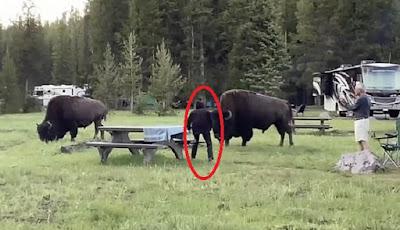 Saat nenek 72 tahun dekati hewan bison besar.