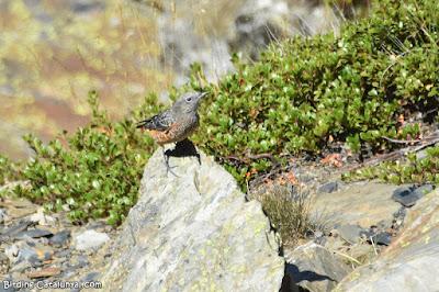 Femella de merla roquera (Monticola saxatilis)
