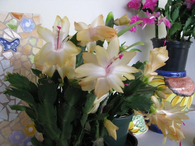 A época de sua floração espetacular, ocorre sempre no outono e início do inverno. Sua floração costuma ser induzida por noites longas e temperaturas entre 10º e 20º graus. Quando florida deve ser mantida à meia sombra e regada uma vez por semana. O substrato recomendado para a flor-de-maio é o mesmo das orquídeas: terra vegetal com casca de pinos ou jacarandá.