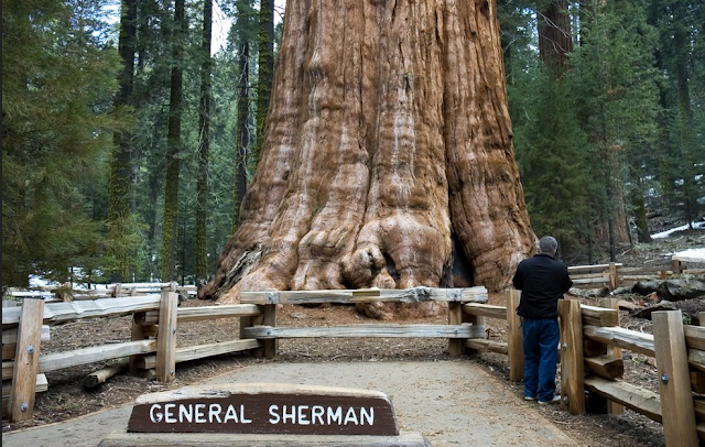 POHON GENERAL SHERMAN
