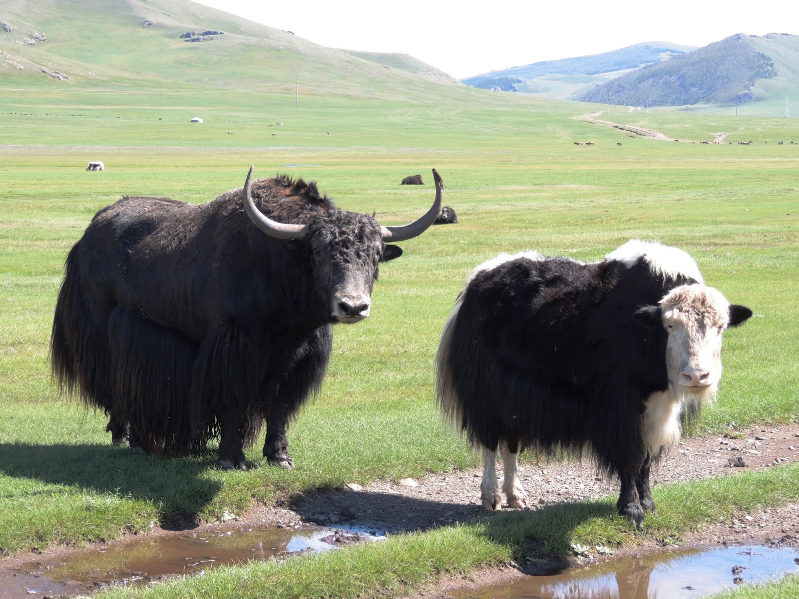 Image Of A Yak: Nexus Expedition: September 2013