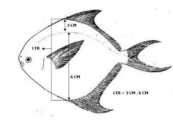 Linea transversalis - Ikan Dorang Atаu Bawal Hitam