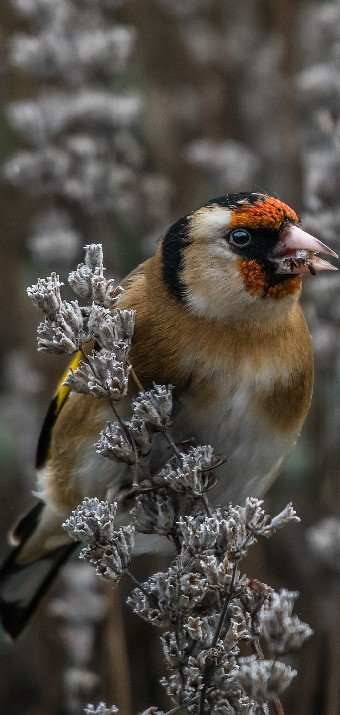 Photo of a goldfinch.