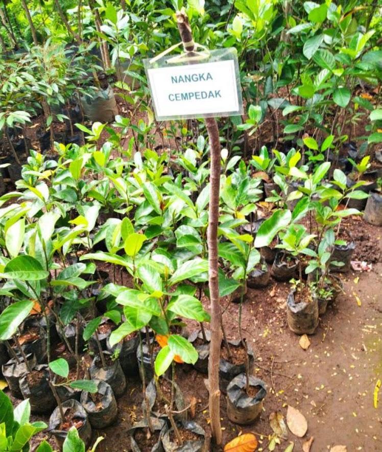 Bibit Nangka cempedak Maluku