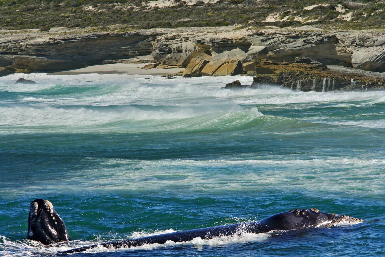 Africa vera sudafrica le spettacolo delle balene australi for Interno delle piantagioni del sud