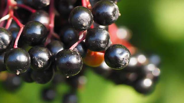 Kara Mürver nedir? Faydaları nelerdir?