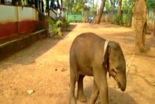 small-elephant-lost-mother-jharkhand