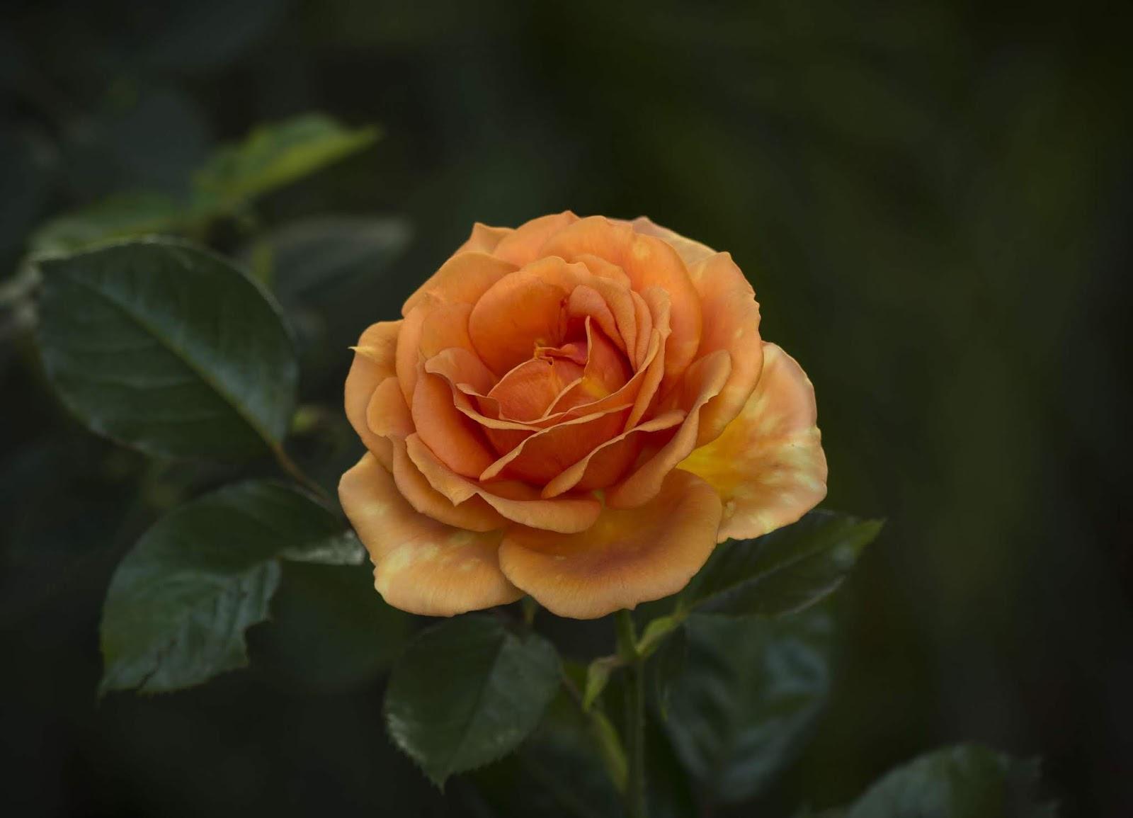 Gambar Bunga mawar orange