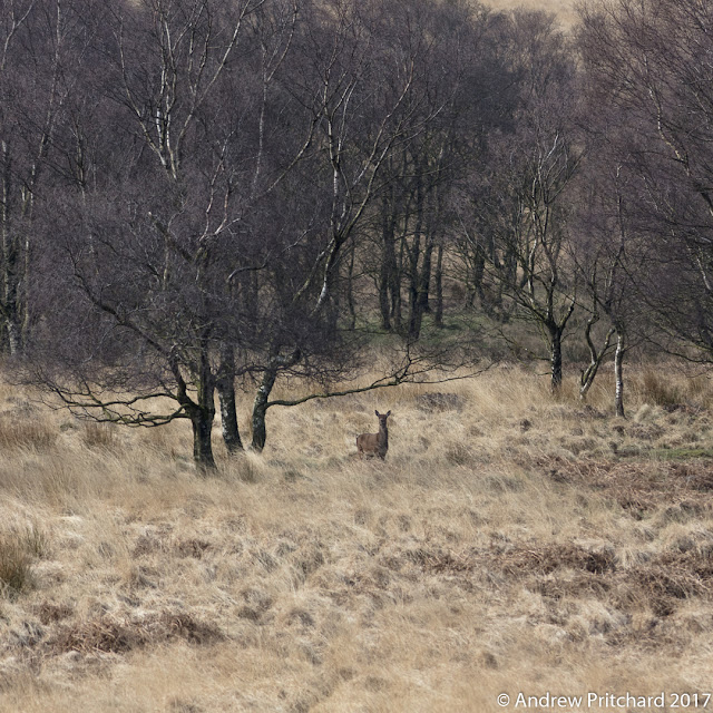 A solitary hind assessing danger from the shelter of woodland, looking towards the well used public path.
