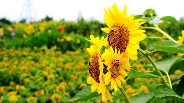Pictures Of Beautiful Sun Flowers