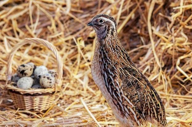 Peluang Usaha Telur Burung Puyuh & Analisa Usahanya
