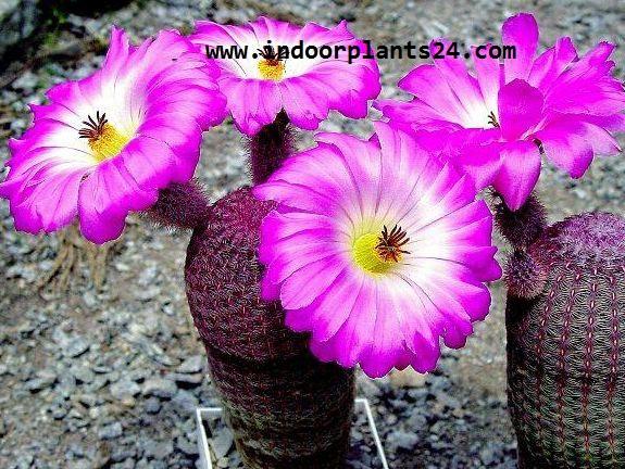 Echinocereus Pectinatus Cactaceae HEDGEHOG CACTUS potted image
