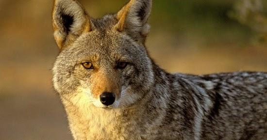 Spirit Symbols: Coyote