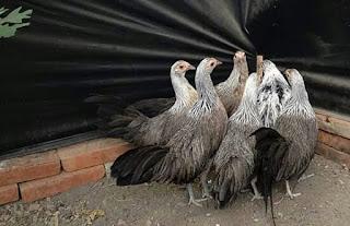 Empat Langkah Agar Indukan Ayam Bangkok Cepat Bertelur