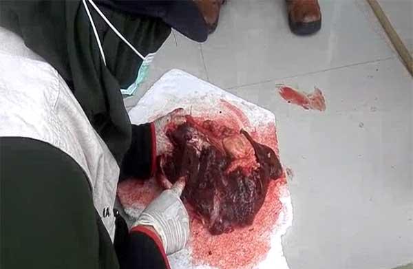 hati sapi yang terinfeksi cacing diminta dibuang
