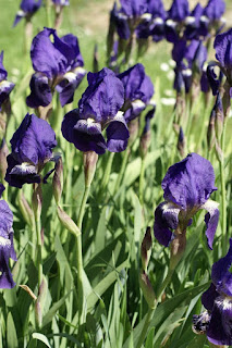 Iris jaunâtre - Iris lutescens - Iris olbiensis - Iris des garrigues