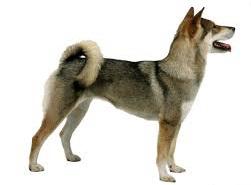 Anjing Ras Shikoku Ken