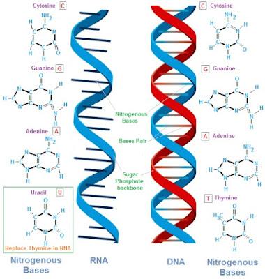 struktur RNA dan DNA