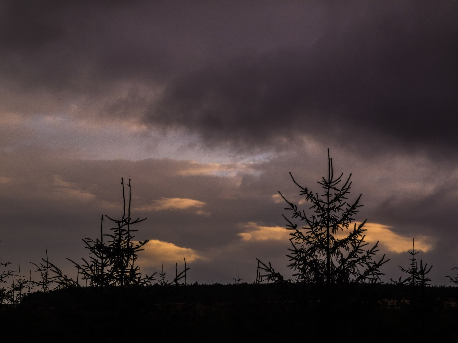 Silhouettes of conifer tree tops at sunset.